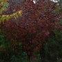 Physocarpus opulifolis 'Diabolo' - autumn foliage (Physocarpus opulifolius)