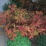 Spiraea japonica 'Goldflame' - autumn foliage (Spiraea japonica)