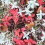 Sedum_and_snow_in_summer_