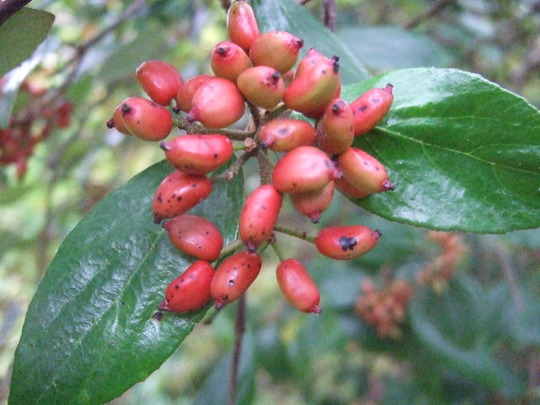 Viburnum berries. (Viburnum x burkwoodii)