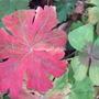 Geranium leaf. (Geranium x cantabrigiense (Hardy geranium))