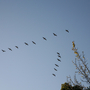 Autumn flypast of Canada geese