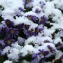 Asters in the snow 29 October (asters)
