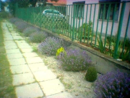 image_00673.jpg (Lavandula angustifolia (Lavender))