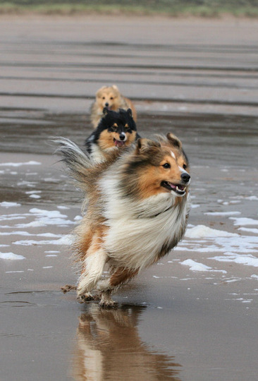Sheltie fun on Woolacombe Beach, North Devon