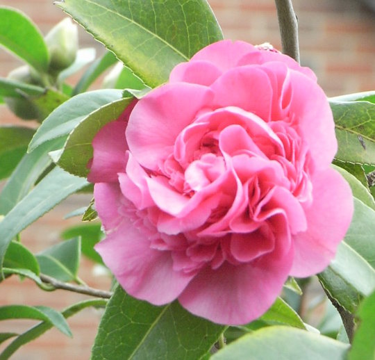 Camellia (Camellia)
