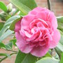 Unknown_camellia_variety