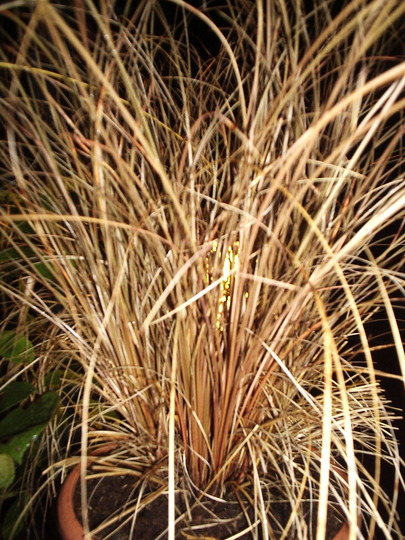 Carex, Guy Fawke's Night.