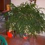 Schlumbergera Bridgesii - Christmas Cactus (Schlumbergera Bridgesii - Christmas Cactus)