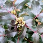 Mahonia (Mahonia aquifolium (Oregon grape))