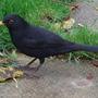'Freaky' blackbird