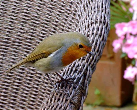 Welsh Robin