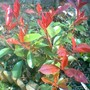 New photinia (Photinia x fraseri (Christmas berry))