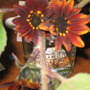 The Organic Ruby Sunflower babies