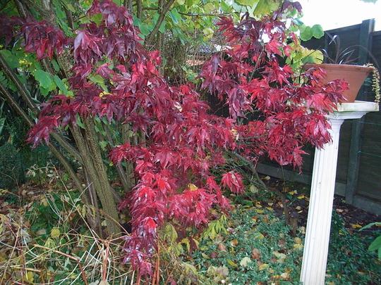 Acer palmatum 'Osakazuki' - autumn colour (Acer palmatum 'Osakazuki')