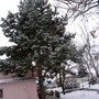 Large Pine tree next to house (Pinus)