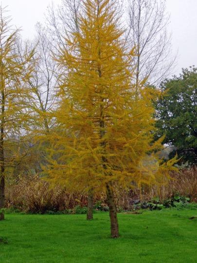 Larix (Larch) Deciduous Conifer (Larix decidua)