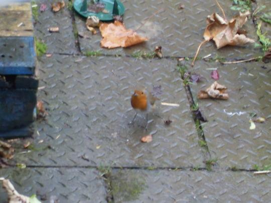 robin is still visiting the garden daily