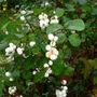 Snowberry (Symphoricarpos albus (Common Snowberry))
