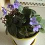 African violet (African violet)