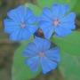 ceratostigma plumbaginoides 005 (Ceratostigma plumbaginoides)