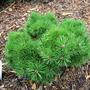 Pinus sylvestris 'Prairie Dwarf' (common name; Scots pine)