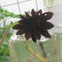 Sunflowers (Sunflowers)