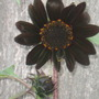 The Organic Ruby Sunflower and its baby