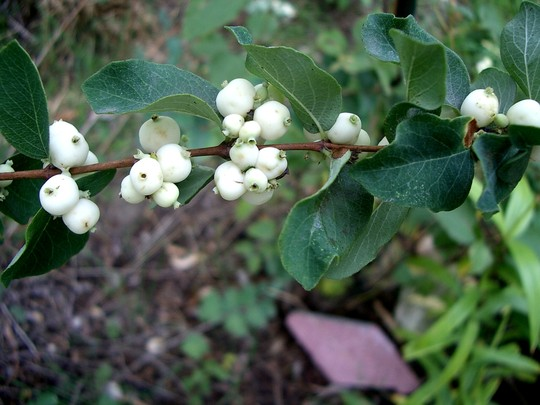 IMGP4346.jpg (Symphoricarpos albus (Common Snowberry))