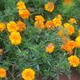 Marigolds (Marigolds)