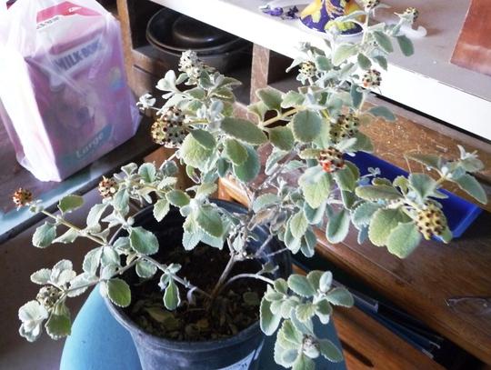 Wooly Butterfly Bush (Buddleia Davidii)