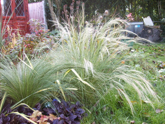Stipa tenuissima (Stipa tenuissima (Feather grass))