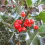 Ilex aquifolium (Holly) (Ilex aquifolium (Holly))