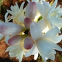Tuberose  (Polianthes tuberosa 'the pearl') (Polianthes tuberosa)
