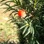 IMGP4424.jpg (Taxus baccata (Yew))