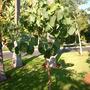 Ficus palmeri - Bonsai Fig (Ficus palmeri - Bonsai Fig)