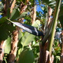 Strelitzia nicolai - Giant Bird of Paradise (Strelitzia nicolai - Giant Bird of Paradise)