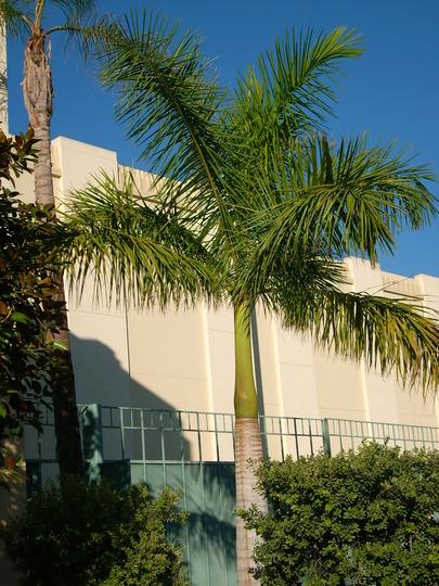 Roystonea regia - Cuban Royal Palm (Roystonea regia - Cuban Royal Palm)