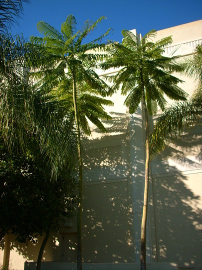 Schizolobium parahybum - Brazilian Fern Tree (Schizolobium parahybum - Brazilian Fern Tree)