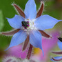 borage (Borago officinalis (Borage))