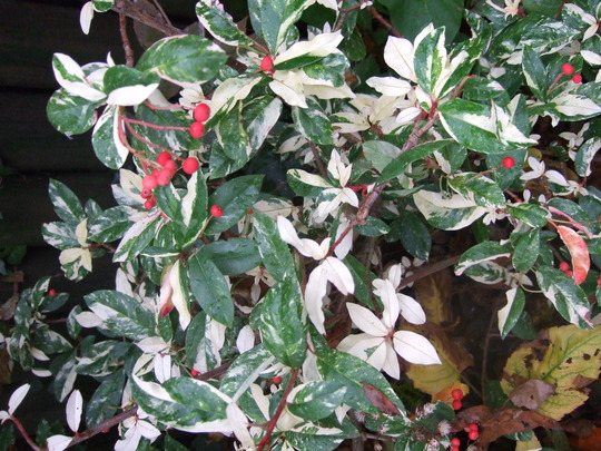 FOR SID - Spot the differences! (Photinia davidiana)