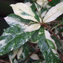 Photinia_leaves