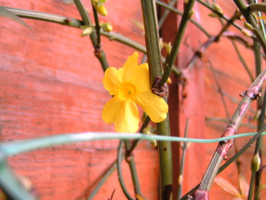 winter jasmine, its 1st flower