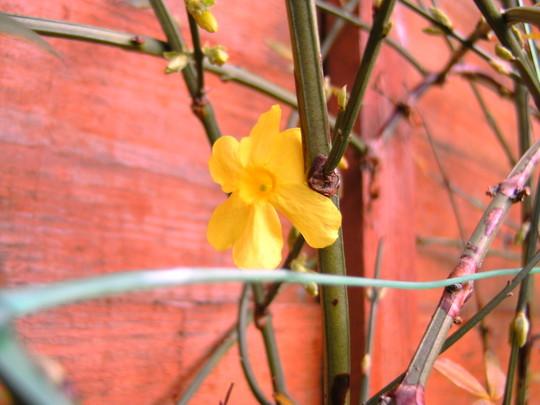winter jasmine, its 1st flower