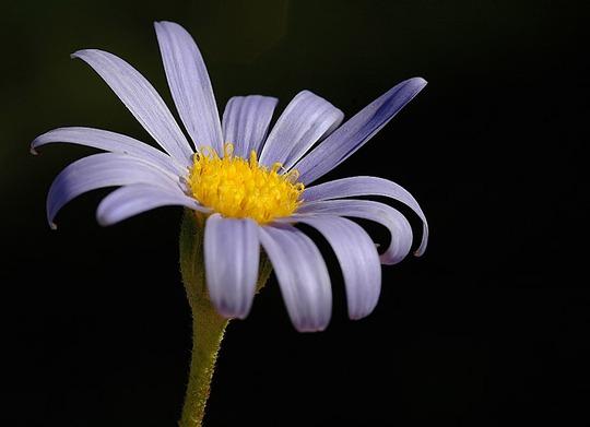Felicia (Felicia fruticosa (Shrub Aster))