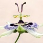 Passiflora_in_patio