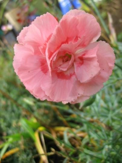 Garden Pinks Doris (Garden Pinks)