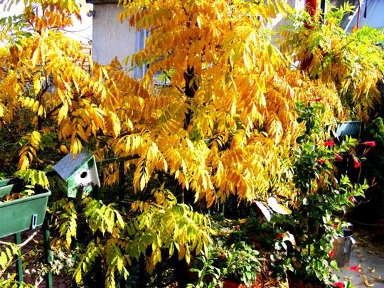 Wisteria in Autumn (Wisteria floribunda (Japanese Wisteria))