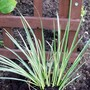Ornimental Grass - Japanese Rush (Acorus gramineus (Japanese rush))