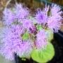 Ageratum flowers (Ageratum houstonianum)